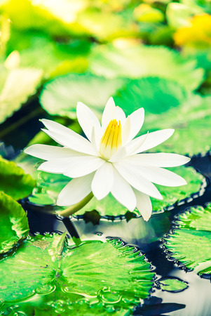 lotus effect: White lotus flower - vintage filter and sunflare effect