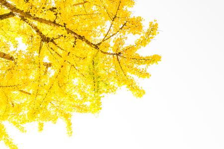 ginkgo leaf: Ginkgo leaf on isolated white background
