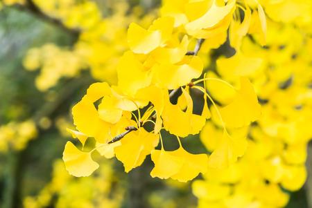 ginkgo leaf: Yellow Ginkgo leaf
