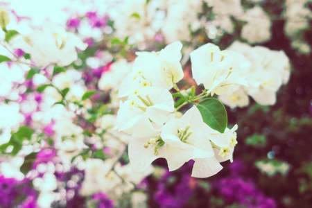 Beautiful bougaville flower and tree - Vintage Filter