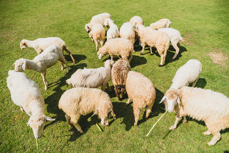 Sheep on green grass in farm Standard-Bild