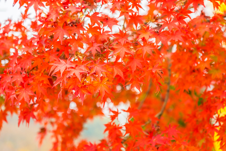 Beautiful red and green maple leaf on tree in autumn season Imagens