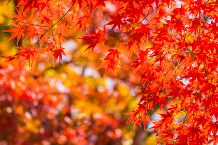 Beautiful red and green maple leaf on tree in autumn season Imagens - 115505009