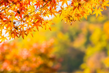 Beautiful red and green maple leaf on tree in autumn season Imagens - 115505010