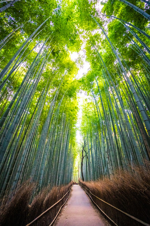 Beautiful landscape of bamboo grove in the forest at Arashiyama Kyoto Japan Imagens - 115505223
