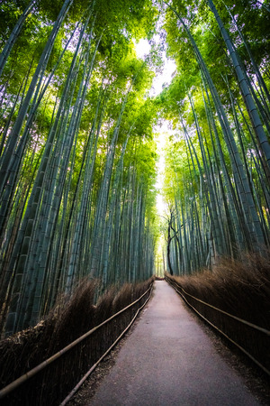 Beautiful landscape of bamboo grove in the forest at Arashiyama Kyoto Japan