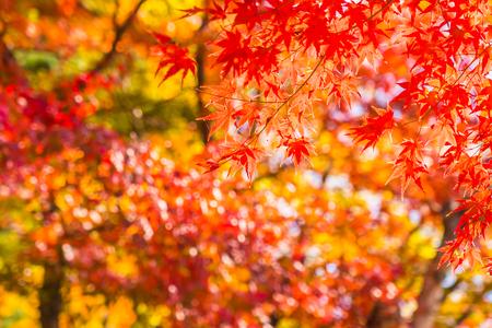 Bella foglia d'acero rossa e verde sull'albero nella stagione autunnale