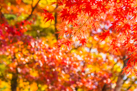 Piękny czerwony i zielony liść klonu na drzewie w sezonie jesiennym
