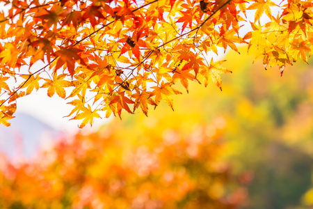 Beautiful red and green maple leaf on tree in autumn season 写真素材