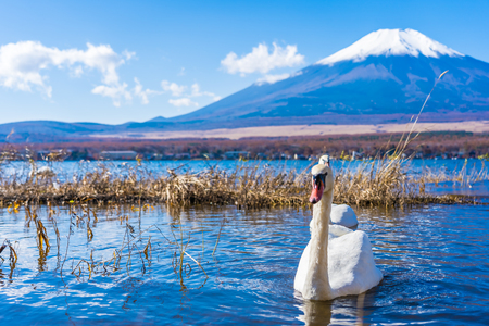 Beautiful landscape of mountain fuji with white swan around yamanakako lake Japan