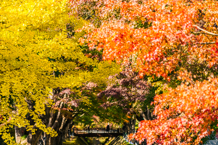 Beautiful red and green maple leaf tree in autumn season Imagens - 115468295