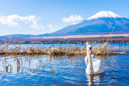 Beautiful landscape of mountain fuji with white swan around yamanakako lake Japan Foto de archivo - 114962609