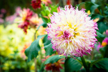 Beautiful colorful flower in the garden