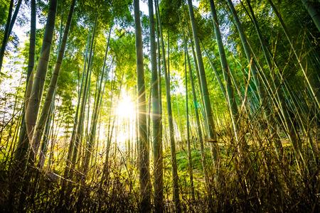 Schöne Landschaft des Bambushains im Wald bei Arashiyama Kyoto Japan