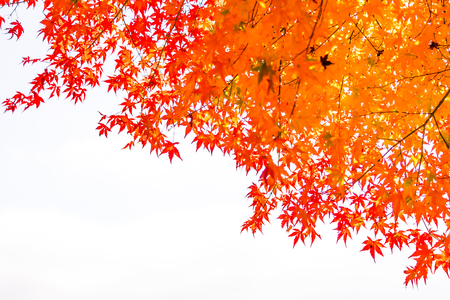 Beautiful red and green maple leaf on tree in autumn season