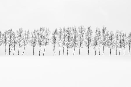 Beautiful outdoor nature landscape with group of tree branch in snow winter season Hokkaido Japan - Processing black and white color Archivio Fotografico