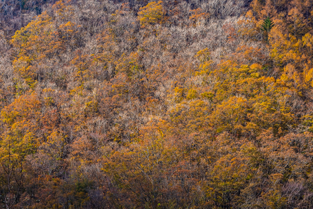 Beautiful landscape with maple leaf tree in autumn season Japan Imagens