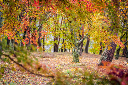 Beautiful red and green maple leaf tree in autumn season Imagens