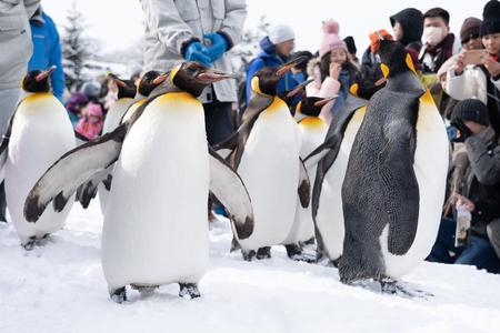 Arashiyama Hokkaido, Japón - 13 de febrero de 2019 Grupo de espectáculo de pingüinos en la temporada de invierno de nieve del zoológico de Asahiyama