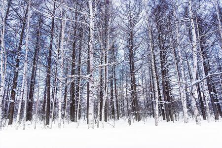 Beautiful outdoor nature landscape with tree in snow winter season at Hokkaido Japan