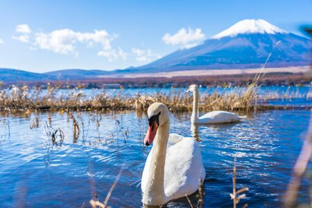 Beautiful landscape of mountain fuji with white swan around yamanakako lake Japan