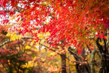 Beautiful red and green maple leaf tree in autumn season Stock Photo