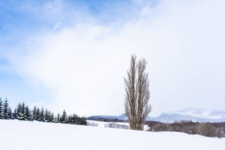 Beautiful outdoor nature landscape with tree of ken and mary in biei area Hokkaido Japan