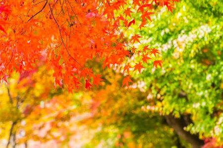Beautiful red and green maple leaf on tree in autumn season Reklamní fotografie
