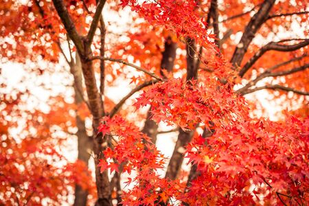 Beautiful red and green maple leaf tree in autumn season Reklamní fotografie