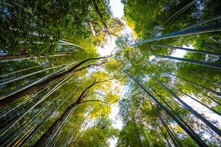 Beautiful bamboo grove tree in arashiyama area Kyoto Japan Фото со стока