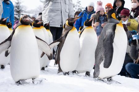 Arashiyama Hokkaido, Japón - 13 de febrero de 2019 Grupo de espectáculo de pingüinos en la temporada de invierno de nieve del zoológico de Asahiyama Editorial