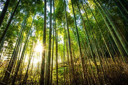Piękny krajobraz bambusowego gaju w lesie w Arashiyama Kioto w Japonii