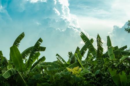 banana leaf: Banana tree plantation in nature with daylight and beautiful cloud Stock Photo