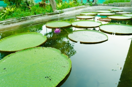 Victoria waterlily with very large green leaves that lie flat on the waters surface photo