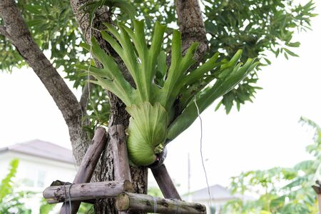 platycerium: Ridleyi Fern is growing on a tree Stock Photo