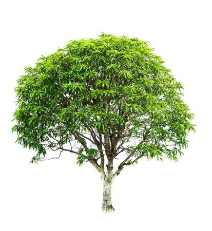 Mango Tree on white background photo