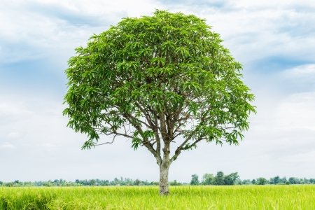 mango tree in rice farm in Thailand