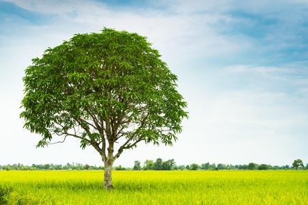 mango tree: mango tree in rice farm in Thailand