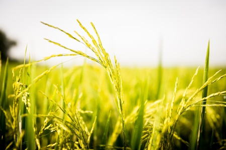 plentiful: Rice field is Plentiful in thailand Stock Photo