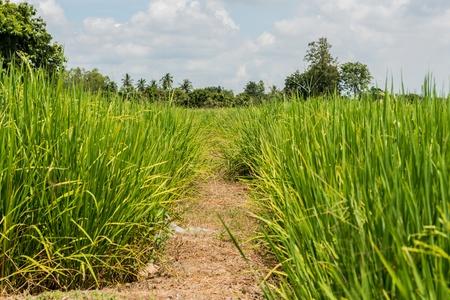 tortillera: Dique de tierra en el campo de arroz en Tailandia Foto de archivo
