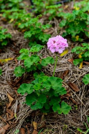 hydrangea macrophylla: purple Hydrangea macrophylla is on the field