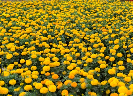 the Yellow flowers in a field photo