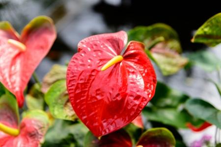 Close up of Red Anthurium flower in botanic garden (Anthurium andraeanum, Araceae or Arum) photo
