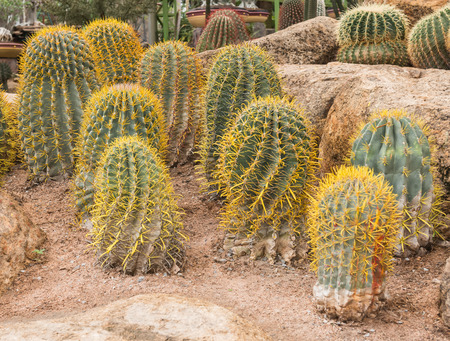 golden ball cactus in plant nursery Stock Photo