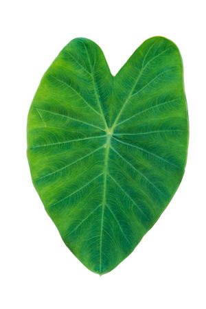 Taro elephant ear leaves on white background isolated with clipping path
