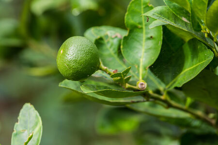 plot: Fresh limes on lime tree in the vegetable plot