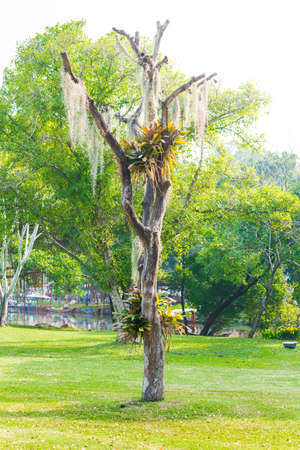 threadlike: Spanish moss hang on dry tree in the park