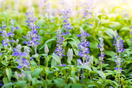 Meadow with blooming Blue Salvia herbal flowers. Blue Salvia is plant in the mint family photo
