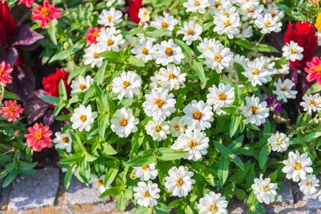 veronica flower: Many white daisies in garden Stock Photo