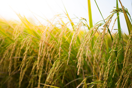 rice grain: closeup Paddy rice in the rice field